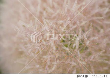 花後、煙のような綿菓子のようなスモークツリー(ケムリノキ)...3 54508913