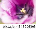 フリンジ咲きチューリップの幻想的なクローズアップ写真 54520596