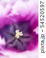フリンジ咲きチューリップの幻想的なクローズアップ写真 54520597