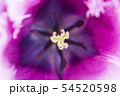 フリンジ咲きチューリップの幻想的なクローズアップ写真 54520598