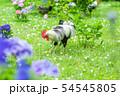 京都府・観音寺のニワトリ 54545805