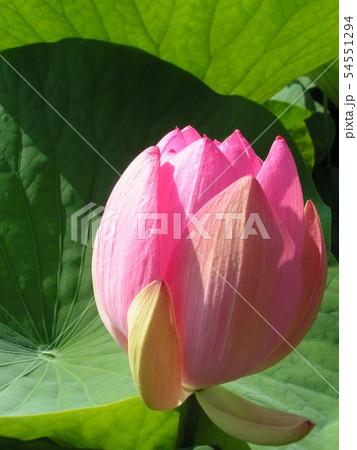 千葉公園のオオガハスの桃色の蕾 54551294