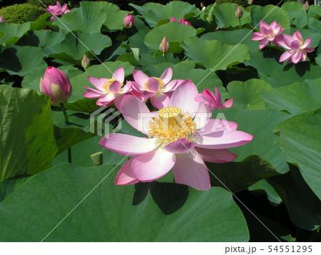 千葉公園のオオガハスの桃色の花 54551295