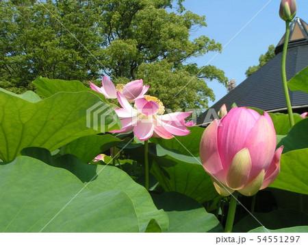 千葉公園のオオガハスの桃色の花 54551297