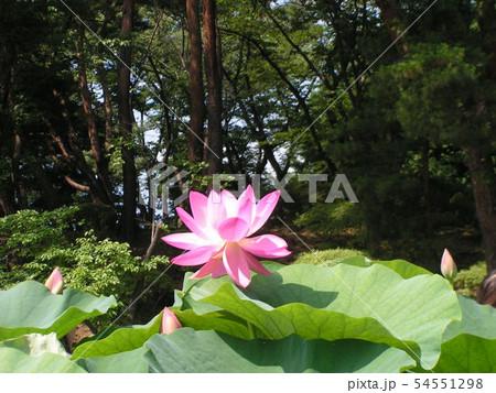 千葉公園のオオガハスの桃色の花 54551298