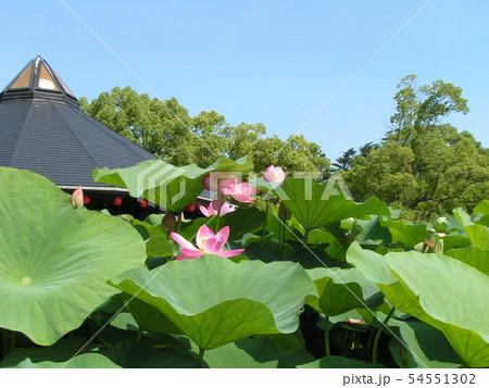 千葉公園のオオガハスの桃色の花 54551302
