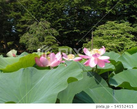 千葉公園のオオガハスの桃色の花 54552415