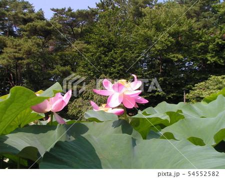 千葉公園のオオガハスの桃色の花 54552582