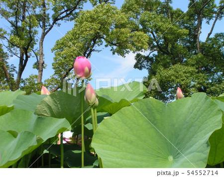 千葉公園のオオガハスの桃色の蕾 54552714