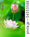 蓮の花 54553588