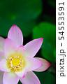蓮の花 54553591