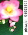 蓮の花 54553592