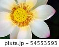 蓮の花 54553593