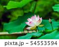 蓮の花 54553594
