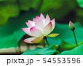 蓮の花 54553596