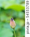 蓮の蕾に止まるとんぼ 54553789