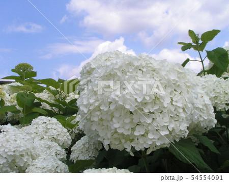 ハイドランジアアナベルと言う白い花のアジサイ 54554091