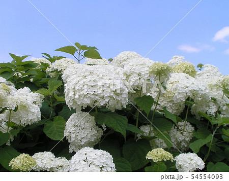 ハイドランジアアナベルと言う白い花のアジサイ 54554093
