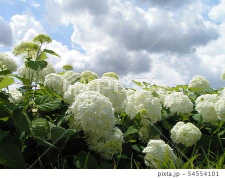 ハイドランジアアナベルと言う白い花のアジサイ 54554101