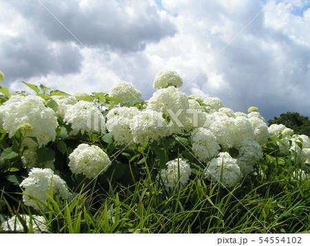 ハイドランジアアナベルと言う白い花のアジサイ 54554102