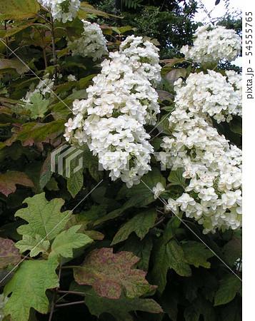 葉っぱが柏の葉に似ているカシワバアジサイの白い花 54555765
