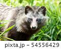 夏毛のホンドタヌキ 54556429
