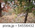 眠るオオカミ 54556432