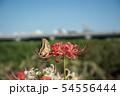 彼岸花とアゲハチョウ 54556444