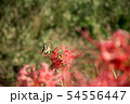 彼岸花とアゲハチョウ 54556447