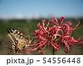 彼岸花とアゲハチョウ 54556448
