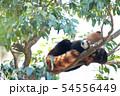 眠るレッサーパンダ 54556449
