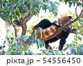 眠るレッサーパンダ 54556450