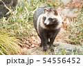ホンドタヌキ 54556452