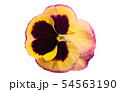 pansy flower isolated 54563190