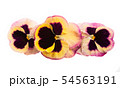 pansy flower isolated 54563191