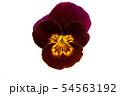 pansy flower isolated 54563192