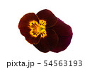 pansy flower isolated 54563193