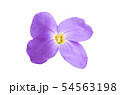 aubrieta isolated 54563198