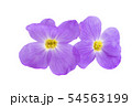 aubrieta isolated 54563199