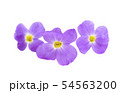 aubrieta isolated 54563200