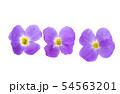 aubrieta isolated 54563201