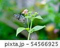 蝶の吸蜜 54566925