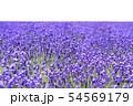 ラベンダー畑 背景キリヌキ 54569179