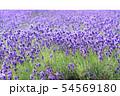 ラベンダー畑 背景キリヌキ 54569180