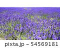 ラベンダー畑 背景キリヌキ 54569181