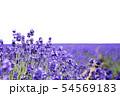 ラベンダー畑 背景キリヌキ 54569183