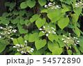 イワガラミの花 54572890