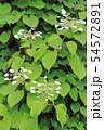 イワガラミの花 54572891