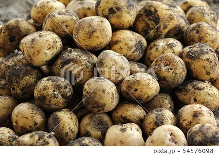 ジャガイモの収穫 54576098