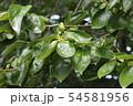 柿の若葉、6月 54581956